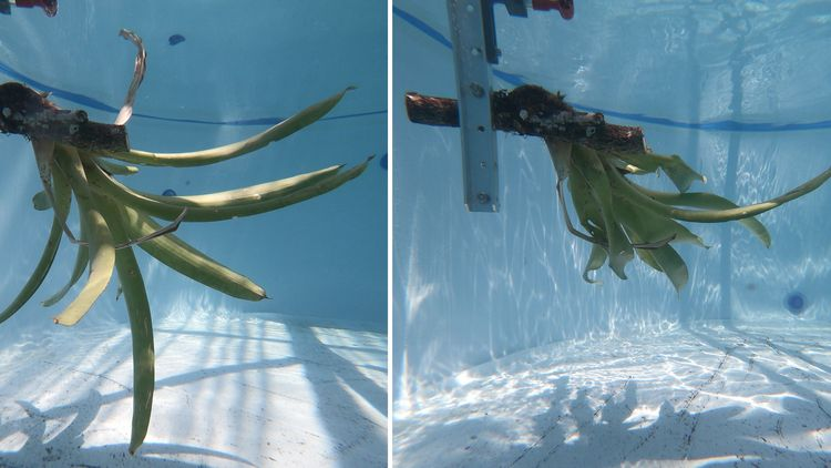 This underwater picture shows how the bromeliad changes its shape in the water stream.