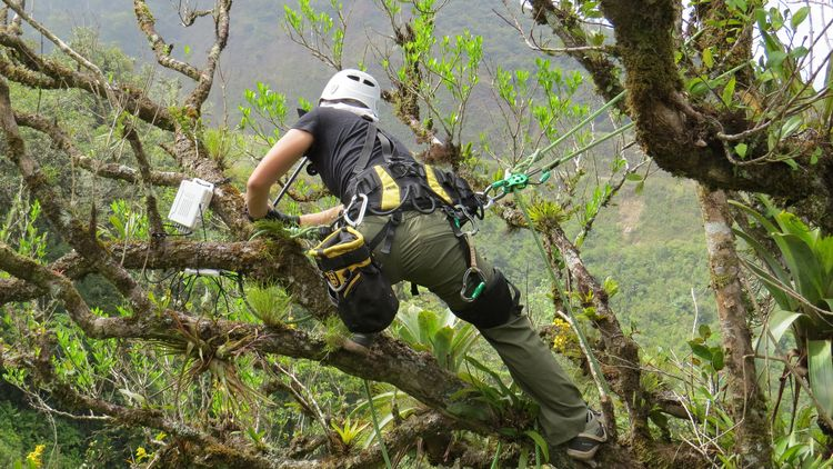A roped up researcher with a helmet picks a plant from a branch.