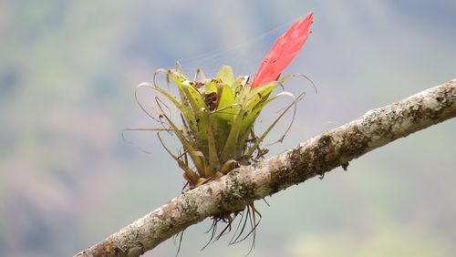 Close-up of a small bromeliad growing on a finger-thick branch.